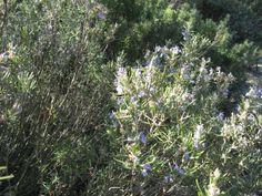 Rosmarinus officinalis 'Minerve'