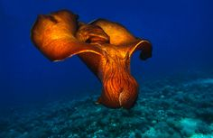 swimming sea hare, Aplysia fasciata, Adriatic sea, Mediterranean sea, Croatia