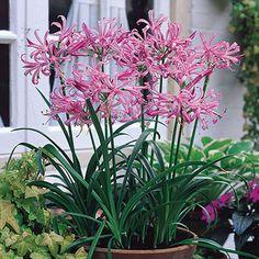 Nerine Bowdenii (Guernsey Lily)
