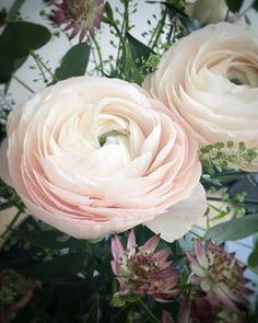 Olen alkanut rakastamaan tätä sydäntalvea: kirpakoita pakkasia, lisääntyvää valoa, narskuvaa pakkaslunta ja veriappelsiinisesonkia. Jaloleinikkejä olen rakastanut aina ❤️ Ja löysin vielä uuden ihanan kukkakaupan ja puolenkämmenen kokoisia kaunokaisia #jaloleinikki #ihanakukkanen #talvi @ihanakukkanen Rose, Flowers, Plants, Instagram, Pink, Roses, Planters, Flower, Plant