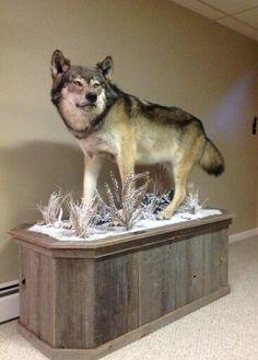 Minnesota Timber Wolf mount.