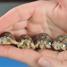 Egyptian tortoise babies