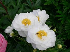 Miss America - A popular variety and with good reason. Reliable performer, with semi-double flowers. The large white petals may open blush pink but quickly fade to white, with yellow stamens visible in most flowers. A citrus fragrance. Medium tall, strong grower. American Peony Society Gold Medal.
