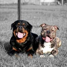 A #Rottweiler and #Pitbull. Two of the best, most loyal and loving breeds.
