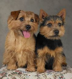 Norfolk and Norwich Terrier... I leaned toward the Norwich terrier but not after reading... http://www.vetstreet.com/dogs/norwich-terrier ... But still, they are so sweet looking... Maybe :)
