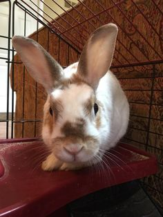 Meet Milo, an adoptable Netherland Dwarf looking for a forever home. If you're looking for a new pet to adopt or want information on how to get involved with adoptable pets, Petfinder.com is a great resource.
