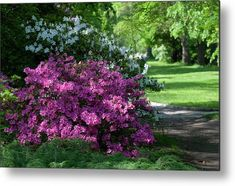 Spring Blooms Of Rhododendrons 1 Metal Print by Jenny Rainbow. All metal prints are professionally printed, packaged, and shipped within 3 - 4 business days and delivered ready-to-hang on your wall. Choose from multiple sizes and mounting options. Spring Blooms, Got Print, Any Images, Art Techniques, How To Be Outgoing, Fine Art Photography, See Photo, Fine Art America, Rainbow