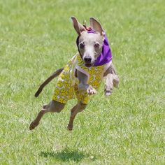 WEBSTA @ mint20060417 - 海おさ30メートル走。真剣走り。 ..走る前にオヤツを食べさせ、オヤツをチラつかせたら、それを一目散にめがけて走ってきたやつ。..#itariangrayhound #イタリアングレーハウンド #イタグレ#海おさ #umiosa #足柄coco#犬 #dog #わんこ #ワンズ #愛犬 #instadog #iggy