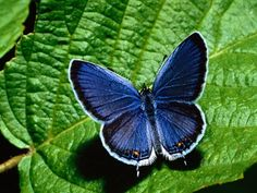 Free Butterfly Pictures | Free Blue Butterfly Wallpapers and Blue Butterfly Backgrounds