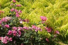 Knockout Pink Rosa roses   Plant & Flower Stock Photography: GardenPhotos.com