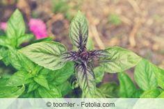 Basilikum anpflanzen - Aussaat, Standort und Pflege - Hausgarten.net