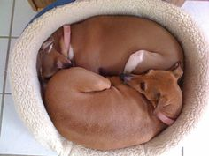 Our Italian Greyhounds. Yes they have their own beds; they just prefer to cuddle.
