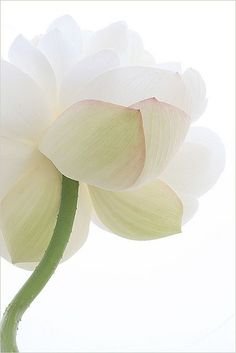 Best health benefits and uses of the lotus flower. The lotus flower is one of the most beautiful blossoms in the world. My Flower, White Flowers, Beautiful Flowers, White Lotus Flower, Calla, Cactus Y Suculentas, Arte Floral, Jolie Photo, Planting Flowers