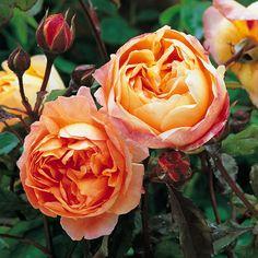 TRANDAFIRI : Plante Trandafiri tufa, parfumati - Lady Emma Hamilton