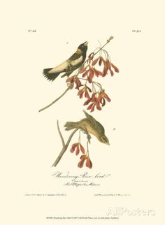 Wandering Rice Bird Posters by John James Audubon at AllPosters.com