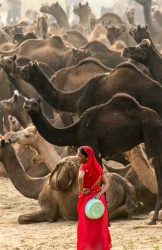 Camel market in India. An unusual sight and love the juxtaposition of the red sari'd figure against the dark camels