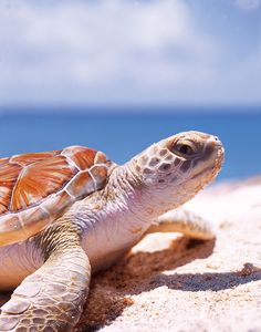 c2d799aba8ec Turtles are wonderful mothers. Did you know that they make a long journey  to return to lay their eggs on the same beaches where they were born