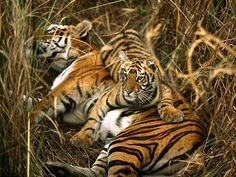 A mother Bengal tiger and her cub rest in the tall grass of a meadow. Tiger cubs remain with their mothers for two to three years before dispersing to find their own territory.