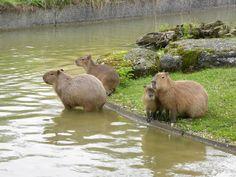 Capybara, Guinea Pigs, Rabbits, Germany, Animals, Animales, Animaux, Deutsch, Rabbit