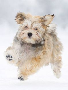 Some of the things we all like about the Smart Havanese Puppies Havanese Grooming, Puppy Grooming, Havanese Puppies, Baby Puppies, Dogs And Puppies, I Love Dogs, Cute Dogs, Puppy Drawing, Companion Dog