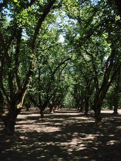 Hazelnut (Filbert) Tree Orchard, Oregon.  I wish they had nutella tree's