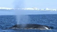 New research into ancient Bowhead Whales. Animals with the biggest mouths linked to the last Ice Age.