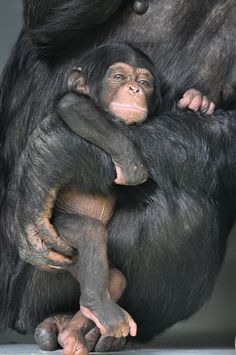 Young Common Chimpanzee (by Truus & Zoo)