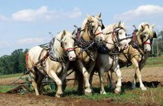 Love these beautiful Draft beauties. The American Cream Draft horses are from Iowa and are great beasts of burden. I would love to have a pair for working our land and maybe even for pulling a buggy or sleigh.