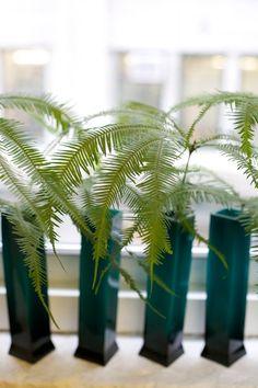 umbrella ferns