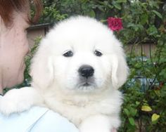 Golden Retriever Dog: White Golden Retriever
