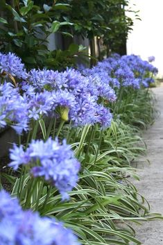 Landscaping Plants, Front Yard Landscaping, Types Of Flowers, Blue Flowers, Agapanthus Garden, Agapanthus Blue, Garden Border Plants, Flower Garden Borders, Cottage Garden Borders
