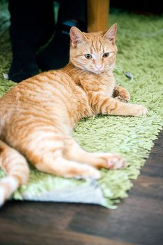 89cats:  Astrid the orange cat by Erica Gilbertson on Flickr.