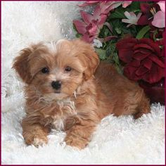 Flora's Maltipoo Puppies 4 Sale, Maltepoo, Maltese Poodle, Hybrid - Puppy Breeders Specializing in Healthy, Beautiful Mixed Breeds. Maltese Poodle Puppies, Poochon Puppies, Maltipoo Puppies For Sale, Biewer Yorkie, Maltipoo Dog, Teacup Puppies, Kittens And Puppies, Cute Puppies, Cute Dogs