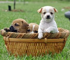 Basket o' puppies!