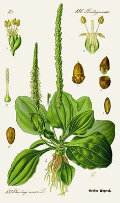 Welcome to HomeGrown Herbalist, based in Idaho, we offer excellent herbal products and education. Learn to grow, prepare, and use Medicinal Plants. Purchase the best Herbal Remedies and medicinal botanical products. Healing Herbs, Medicinal Plants, Wound Healing, Botanical Drawings, Botanical Prints, Plantain Herb, Impressions Botaniques, Illustration Botanique, Edible Wild Plants