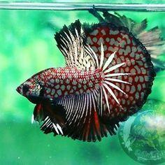 Animals world photos Koi Betta, Betta Aquarium, Tropical Fish Aquarium, Tropical Fish Tanks, Betta Fish Tank, Beta Fish, Pretty Fish, Beautiful Fish, Beautiful Sea Creatures