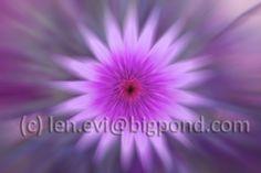 Zoomburst effect on a Daisy