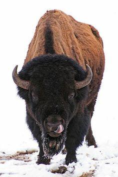 "American Bison or Buffalo""Interesting tongue. """