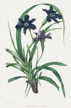 Paxton Magazine Botany Prints 1834