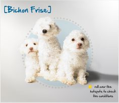 Did you know the Bichon Frise was a favorite of the Spanish school of painters, including Goya, and is featured in many of their works?   Read more about this breed by visiting Petplan pet insurance's Condition Checker!