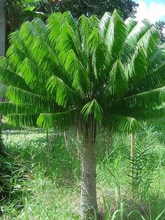 Get inspired to decorate your home with Backyard Palm Trees, many types which you may choose from. Transform your home feel like to be a tropical resort. Unique Trees, Unusual Plants, Rare Plants, Small Trees, Cool Plants, Garden Shrubs, Landscaping Plants, Landscaping Ideas, Fruit Plants