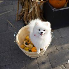 Lulu da pomerania White Pomeranian, Pomeranian Puppy, Cute Little Puppies, Cute Puppies, Cute Animal Memes, Cute Animals, Pets 3, Chihuahua Puppies, Cute Cars