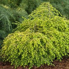 Golden Dutchess Hemlock: exciting new evergreen, this develops graceful arching branches covered in golden yellow needles. 'Golden Dutchess' is a compact variety perfect for rock gardens or containers. Like other hemlocks, 'Golden Dutchess' does best in woodland settings where it receives dappled sunlight. It prefers rich, slightly moist soil. Name: Tsuga Canadensis 'Golden Dutchess' hemlock Growing Conditions: Shade, Partial sun, 3–4' tall, 3–5' wide, Z4–7