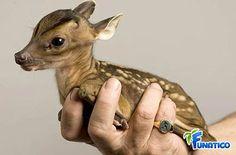 tiny little deer