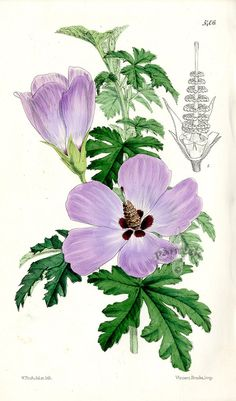 Hibiscus Huegelii from Plants from Royal Garden of Kew by W.H.Fitch 1853-1871