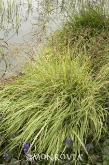 Variegated Moor Grass - Highly ornamental grass for use in perennial borders. Green blades striped with creamy white continues a colorful display through summer, perfect for edging or groundcover.