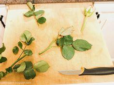Ge snittrosen en andra chans:http://bjorkvagen1.blogspot.se/2013/12/snittros-stickling.html