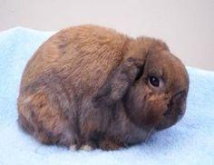 Holland Lop Rabbits|Holland Lop Genetics|Color|Genetics