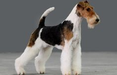 Perro Fox Terrier, Wirehaired Fox Terrier, Fox Terriers, Wire Fox Terrier, Dog Stuff, Dogs And Puppies, Board, Life, Animals