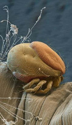 A parasite is found living on a mosquito larva
